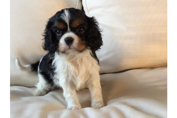 Annonces Recentes Donner Chiot Cavalier Charles King Spaniel Femelle