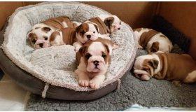 multi-european-champion-sired-bulldog-puppies-584712c94b5d0_grid.jpg