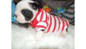 bulldog-puppy-picture-caaba52c-de61-4057-8ce3-60ff585d4d3a_grid.jpg