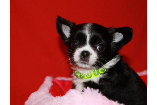 Annonces Recentes Adorable Bebe Chiot Chihuahua A Donner