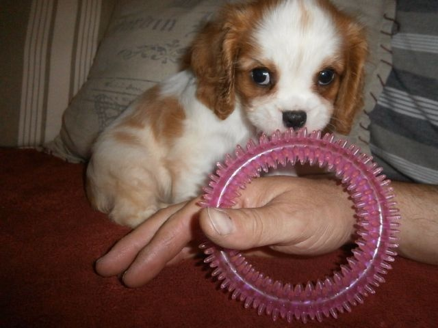 Annonces Recentes Chiots Cavaliers King Charles Femelle A Donner