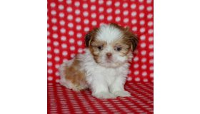 puppies_for_sale_in_pa_pac13-7975_1_grid.jpg