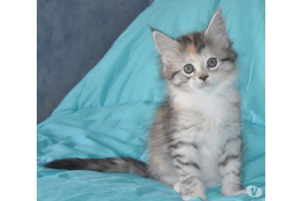 Annonces Recentes A Donner Adorable Chaton Maine Coon