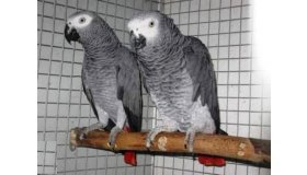65155-couple-perroquet-gris-du-gabon-1_grid.jpg