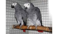 65155-couple-perroquet-gris-du-gabon-1_list.jpg