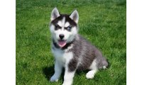 14-weeks-old-siberian-husky-puppies-for-sale-59dae5d05431d_list.jpg