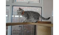 gorgeous-british-short-haired-kittens-gccf-reg-59f7150adea16_list.jpg