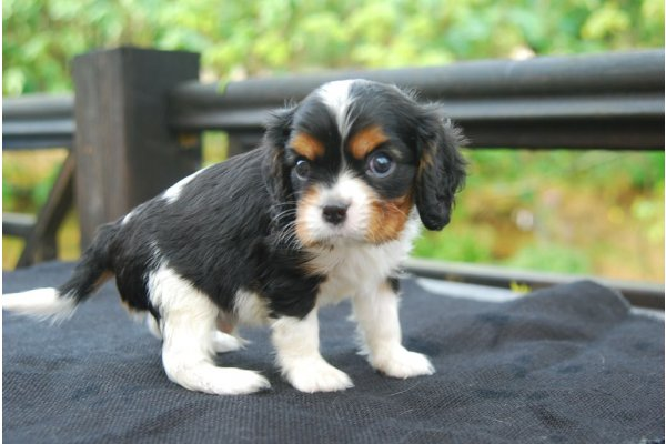 Annonces A Donner Chiot Cavalier King Charles Spaniel