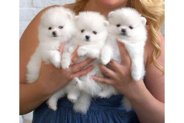 Annonces Chiot Type Spitz Nain A Donner