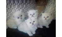 trait-beaux-chatons-silvert-chinchilla--88587-01_list.jpg