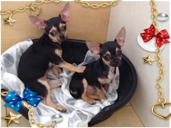 Annonces Recentes Chiots Chihuahua Lof A Donner