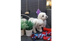 2-beautiful-maltese-x-bichon-boys-left-5bcedef03bff7_grid.jpg