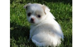 122679-a_donner_magnifique_chiot_femelle_type_chihuahua_non_lof_grid.jpg