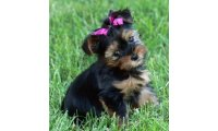 yorkshireterrier_bella_list.jpg