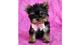 tiny-teacup-yorkie-puppies-for-sale_grid.jpg