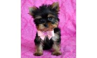 tiny-teacup-yorkie-puppies-for-sale_list.jpg