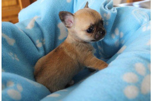 Annonces Chiot Chihuahua Miniature Poil Court A Donner