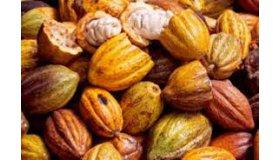 cacao_1_grid.jpg