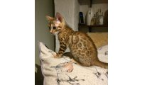 reg-golden-bengal-female-ready-november-5db32cd9239bd_list.jpg