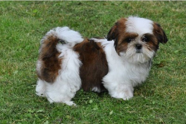 a-donner-chiot-femelle-shih-tzu-pure-race-lof-1327121613_large_gallery.jpg